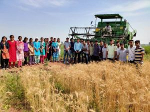 Harvesting of Wheat (2)