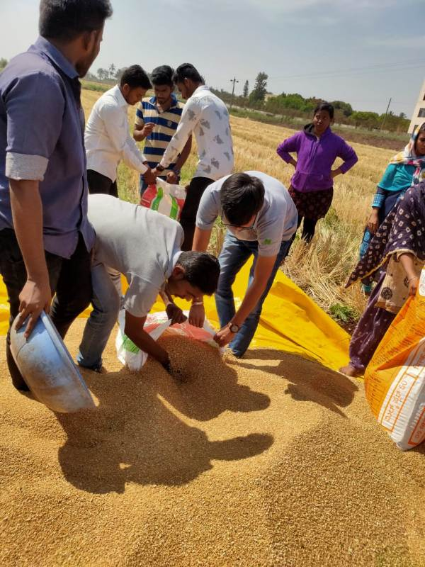Harvesting of Wheat (3)