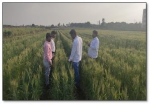 Experiential Learning module – 1 – Seed production of wheat